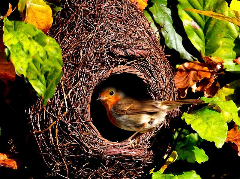 Rödhake i naturlig fågelholk