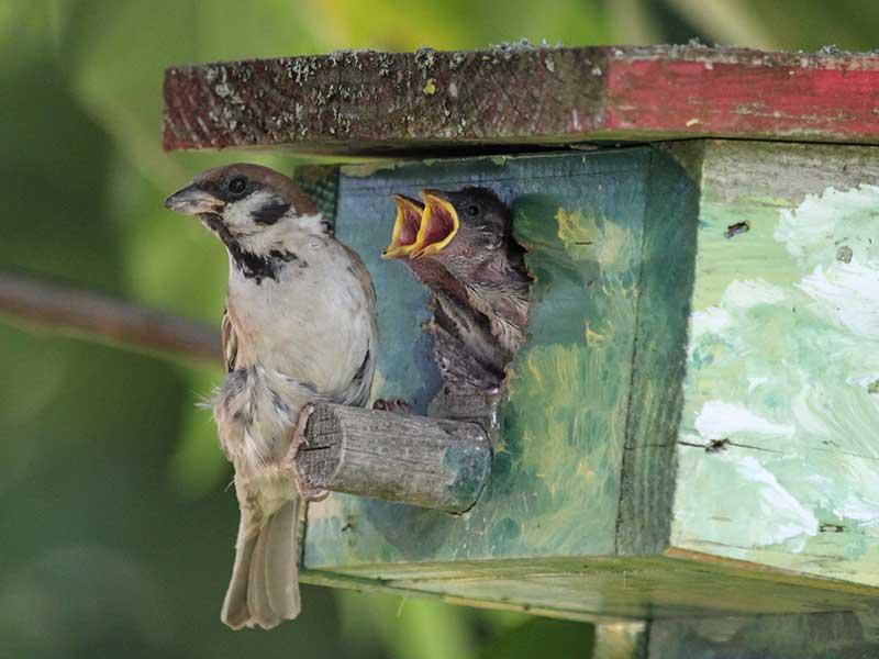 Pilfink med larver till ungar i fågelholk