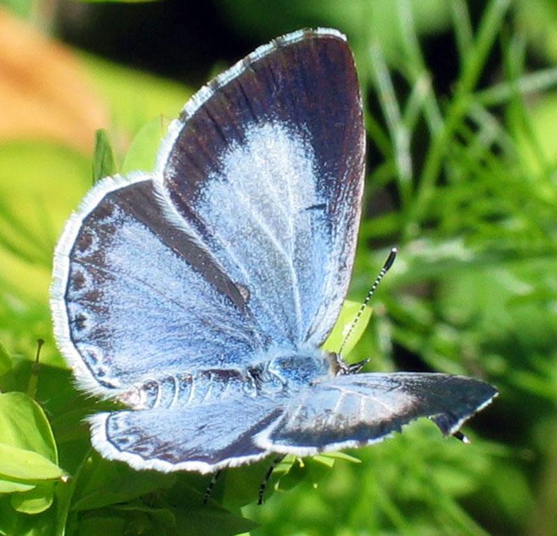tosteblåvinge fjäril blåvinge