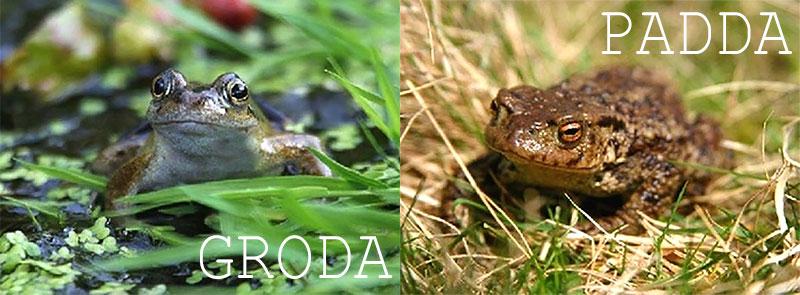 Skillnaden mellan grodor och paddor