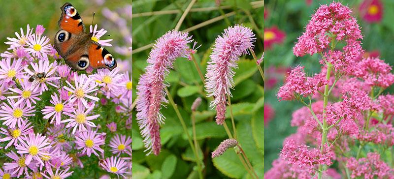 Aster, nickpimpinell, pipört för pollinatörer