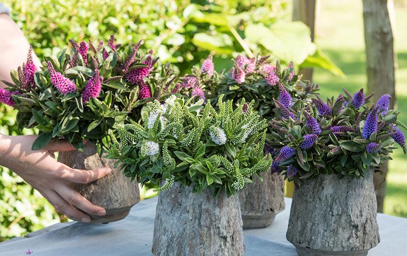 Hebe i utekruka för rik pollinering