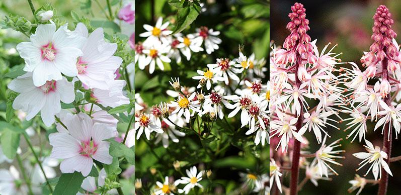 Myskmalva, vit skogsaster och spetsmössa för pollinatörer