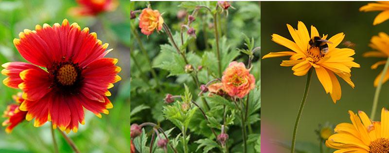 Solöga, humleblomster och rudbeckia för pollenrika krukor