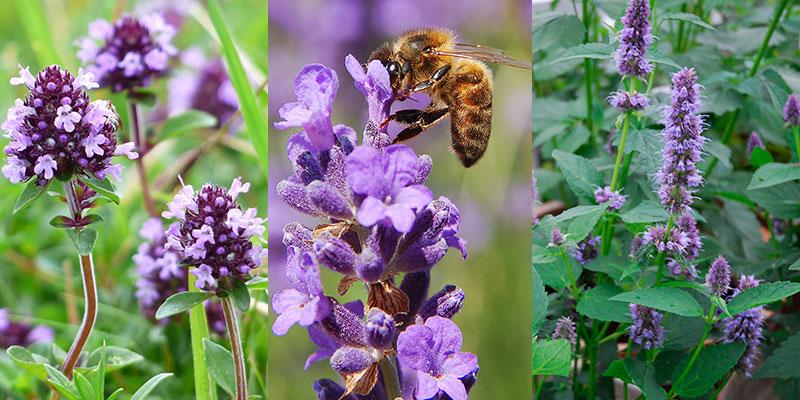 Timjan, lavendel och anisisop som pollenlämnare