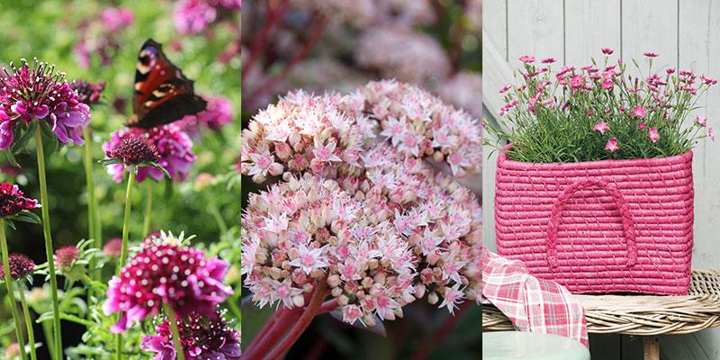 Vädd, kärleksört och nejlika för pollinering