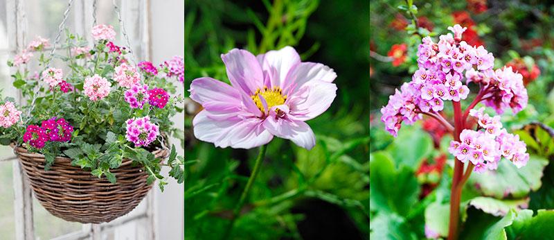 Verbena, rosenskära och bergenia för pollinering