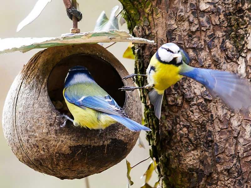 Blåmesar vid utfodring med kokos i trädgård på vintern