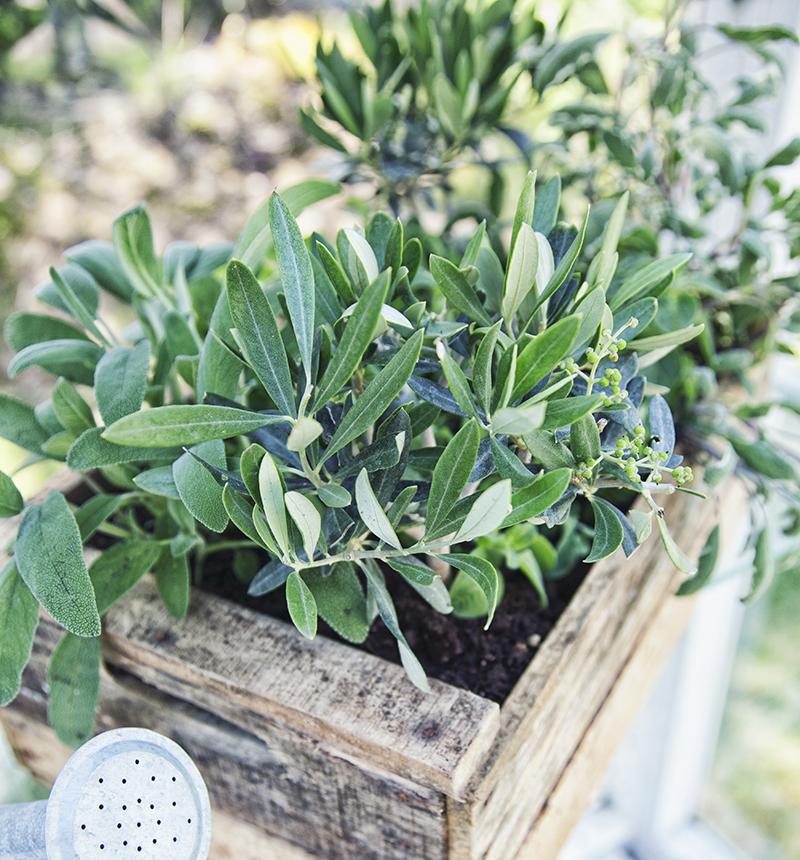 Salvia till örtte