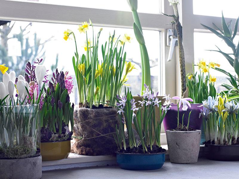 Vårlökar drivna inomhus på fönsterbräda