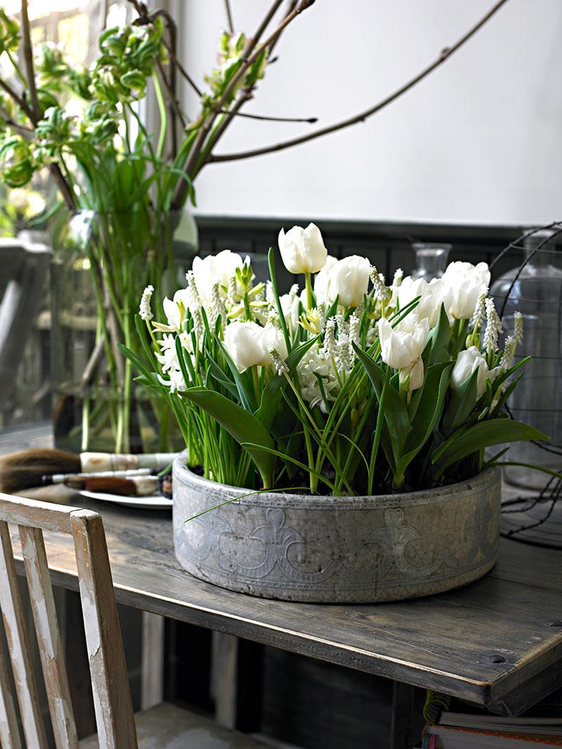 Vita tulpaner drivna inomhus i kruka