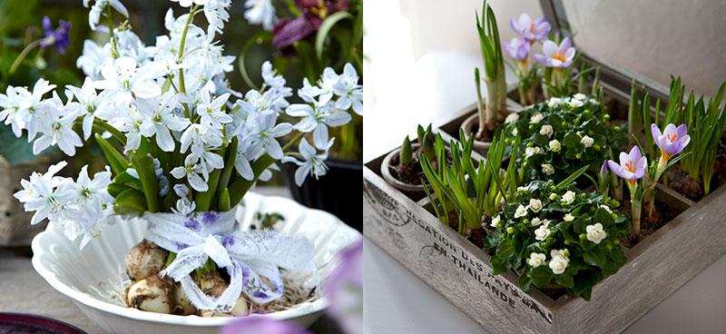 Vårstjärna och krokus drivna i blom inomhus