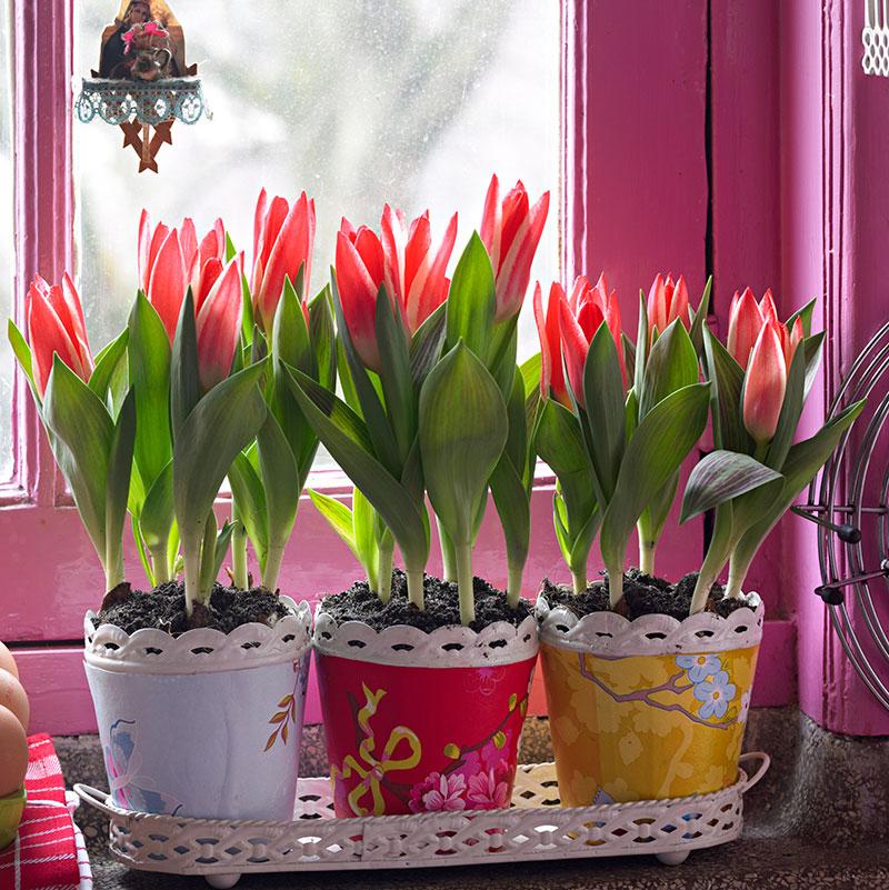 Tulpaner i kruka drivna inomhus
