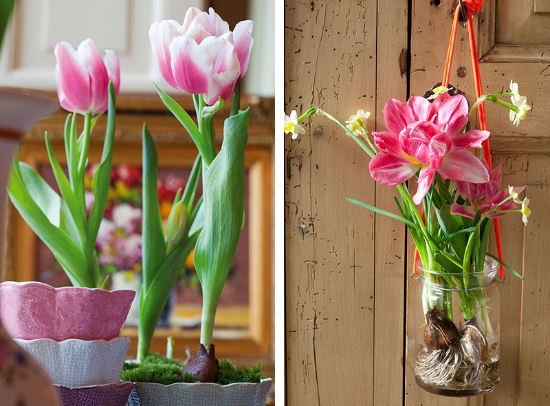 Tulpaner drivna inomhus i tekopp