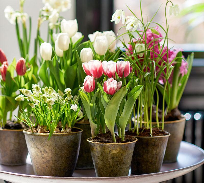Krukor med vårlökar drivna inomhus i blom