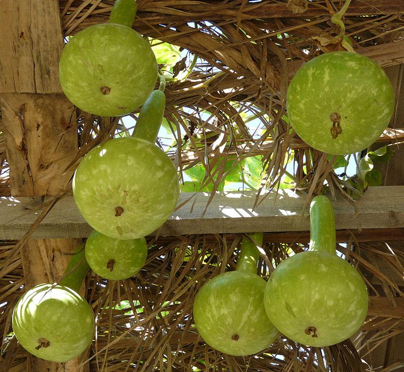 Mognande kalebasser, frlaskkurbits