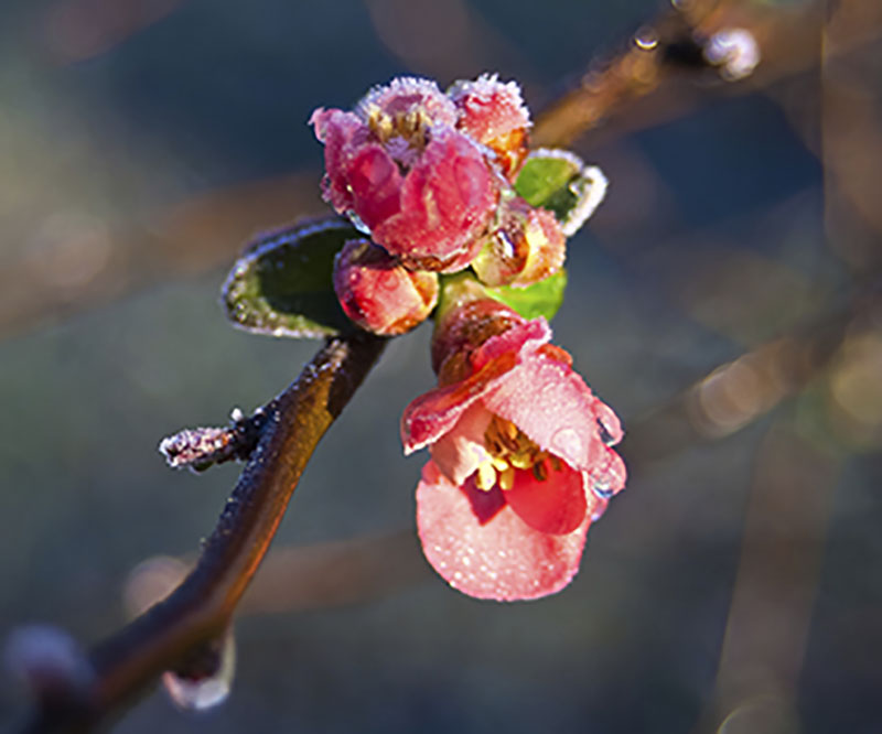 persika blomma i frost