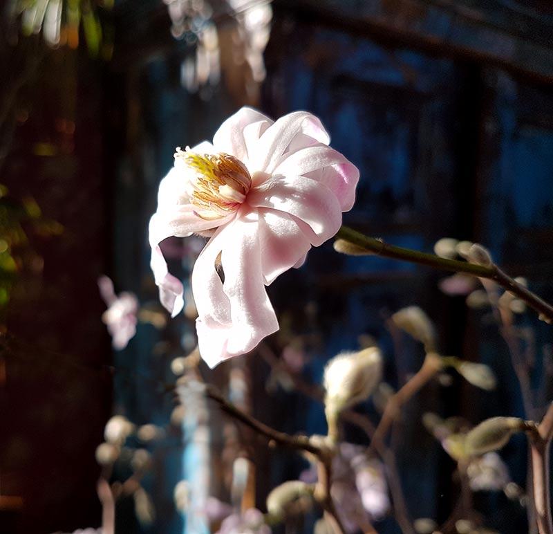 rosablommande magnolia inomhus på bar kvist