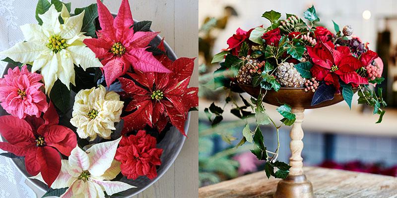 olika färg och form av julstjärna och arrangemang med ministjärna