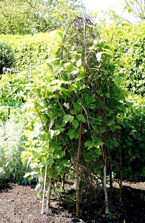 Växtstöd av grenar för klätterväxter