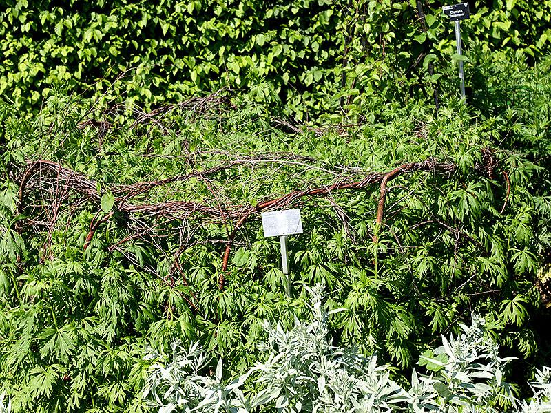växtstöd för högväxta perenner