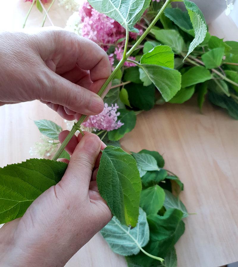 Rensa hortensians stjälkar från gröna blad
