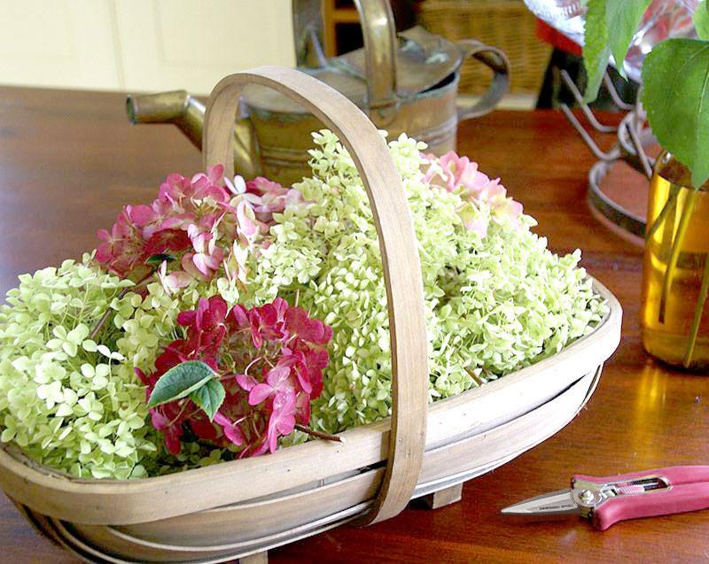 Korg med nyplockade hortensiablommor