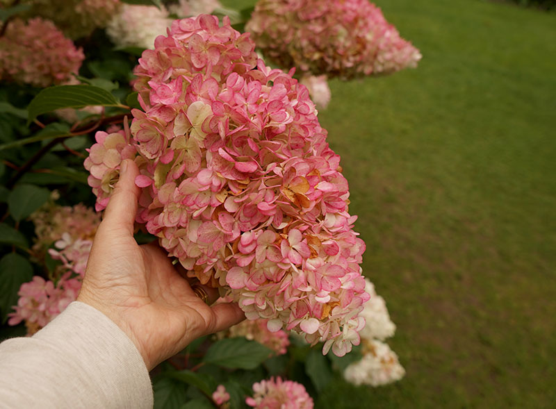 Rosavit hortensiablomma