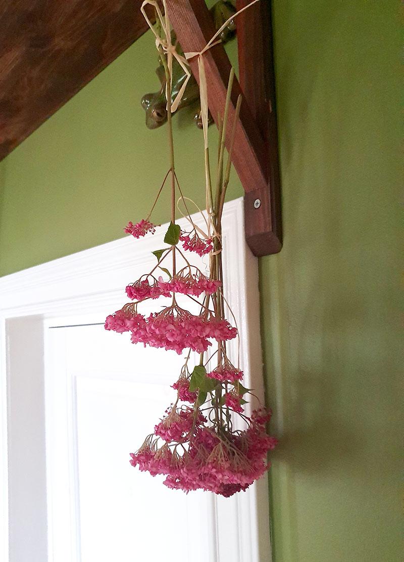 Hortensiablommor hänger på tork