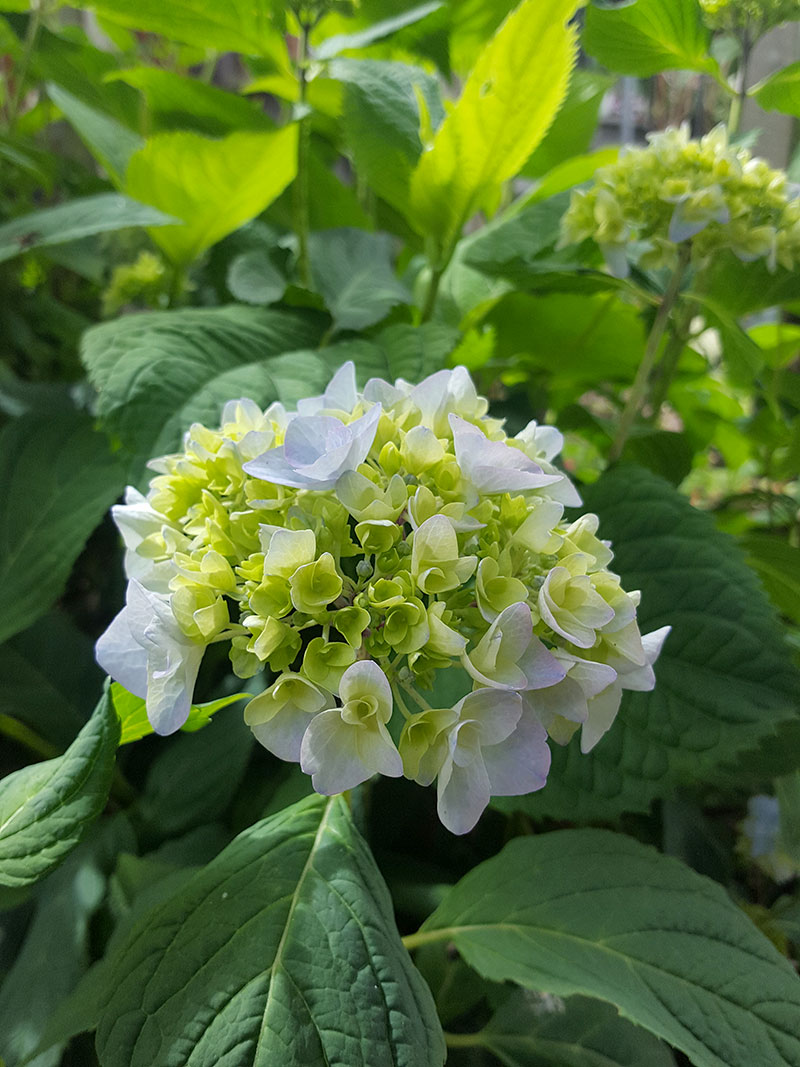 Ljusblå hortensiablomma som går att torka