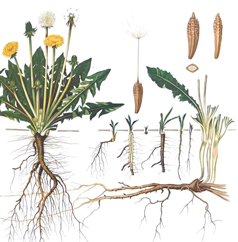 Maskrosens botanik