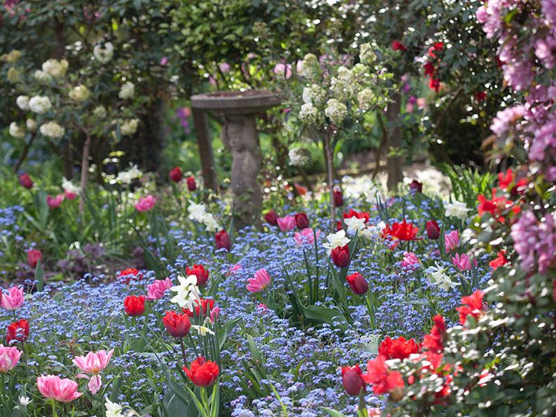Trädgård i maj med tulpaner och förgätmigej
