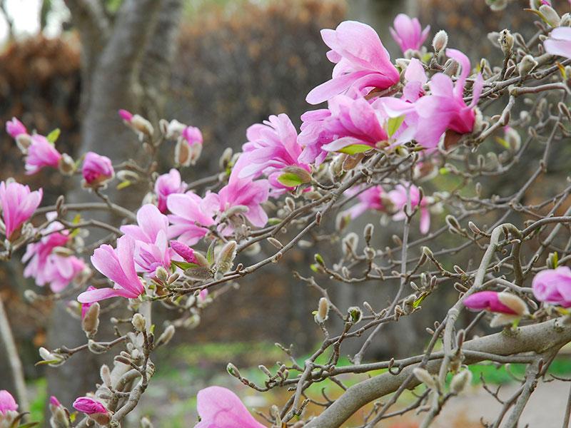 magnolia Leonard Messel
