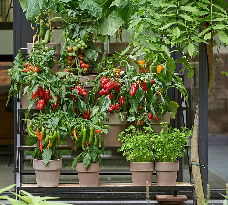Köksväxter i kruka på balkong