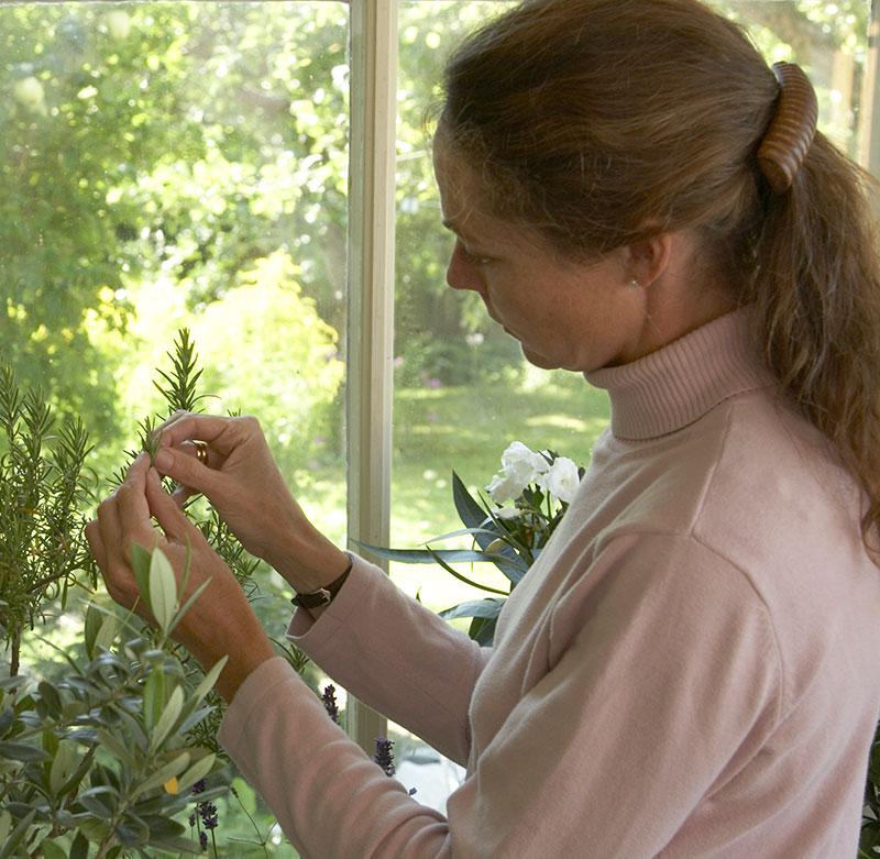Ohyra på rosmarin i växthus