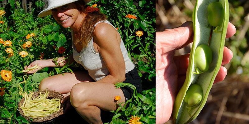 Skörd av vaxböna och bondböna