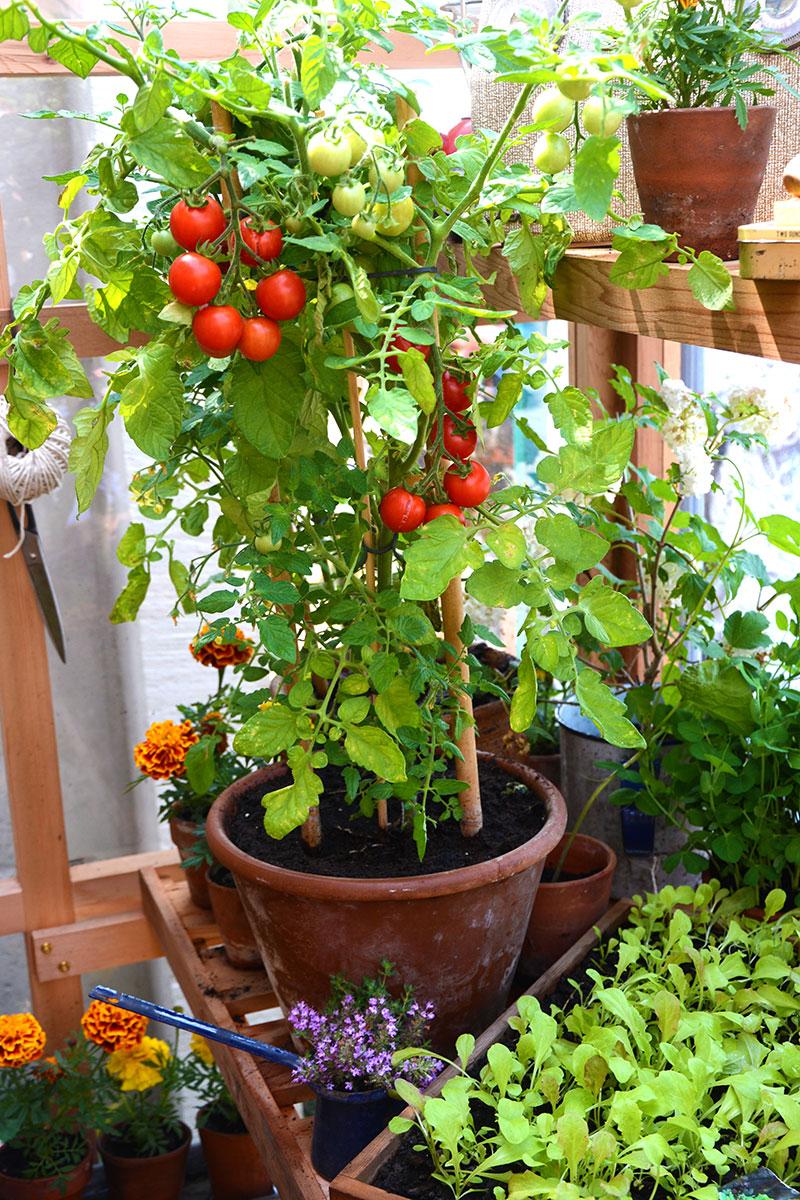 Tomatodling i växthus sensommar