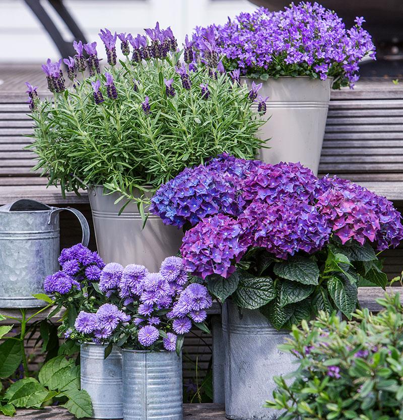 Utekrukor i augusti med lavendel murklocka, aster