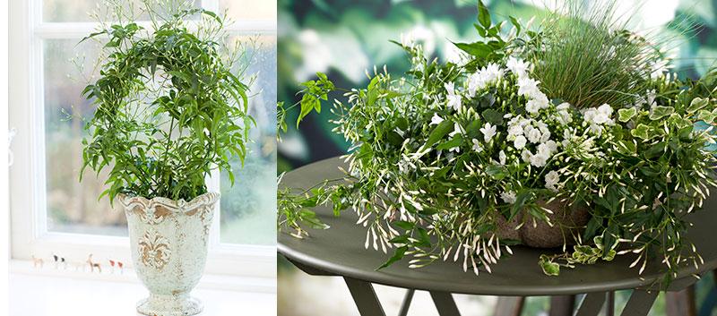 Vippjasmin Jasminum krukväxt