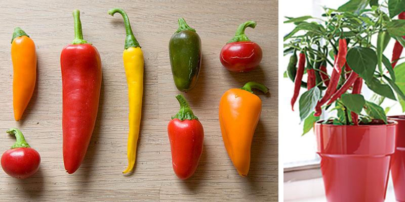 Olika sorter av chili Capsicum
