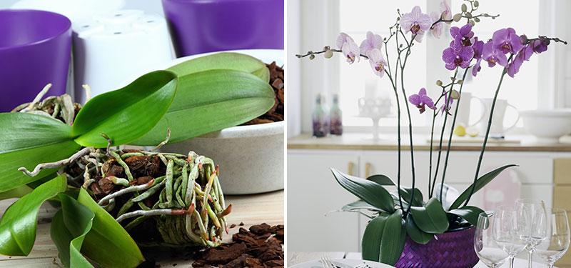 Omplantering av brudorkidé Phalaenopsis