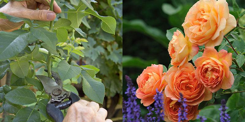 Sticklingsförökning av ros