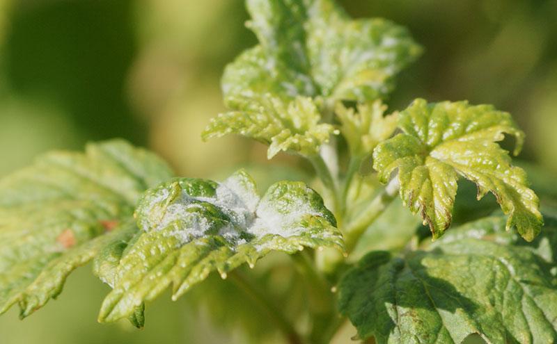 Mjäldagg på svarta vinbärsblad