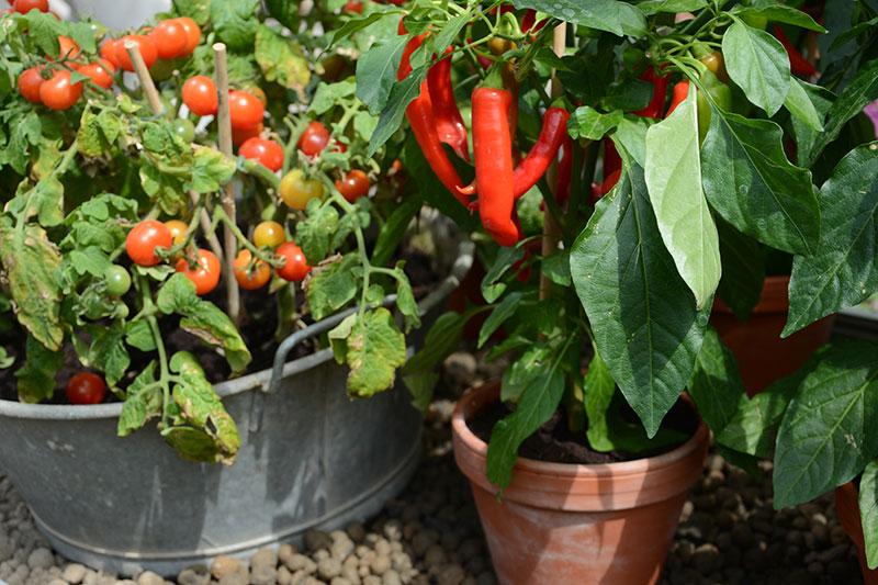 Tomat och chili i kruka