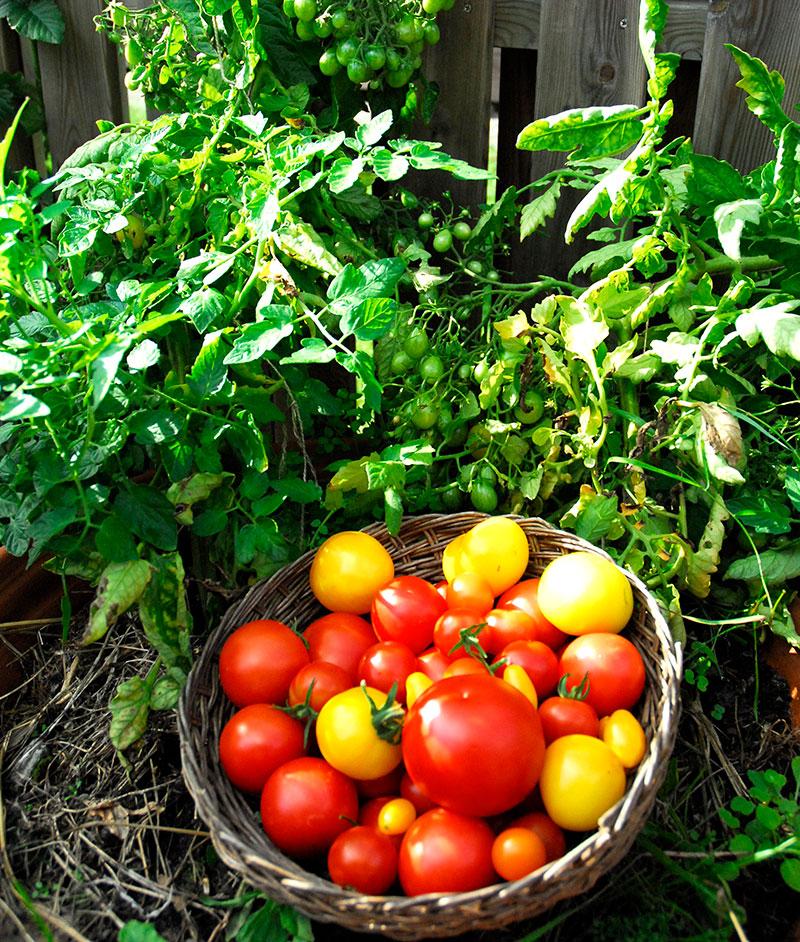 Tomatskörd i korg