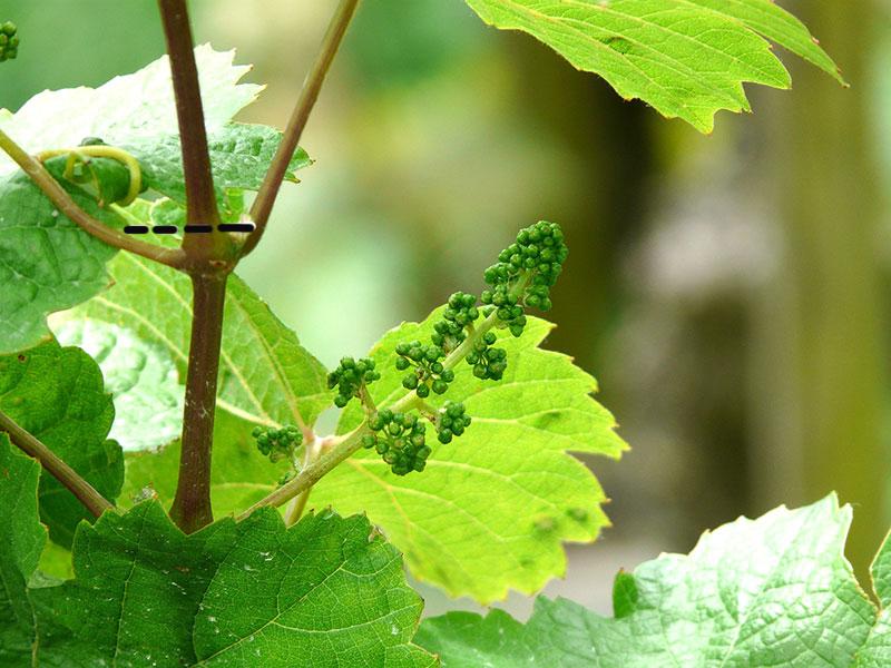 Pincering av vinranka på sommaren