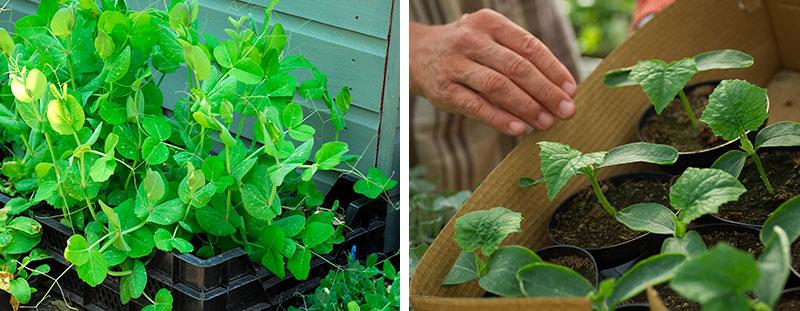 Småplantor grönsaker för utplantering