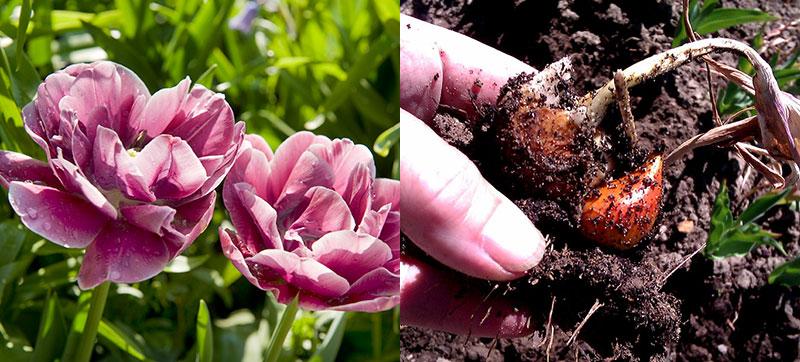 Förökning av tulpaner med sidolökar