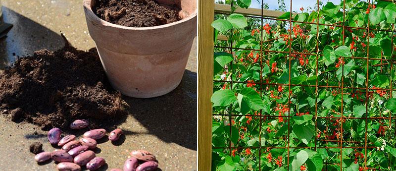 Sådd av bönor rosenböna på klätterställning