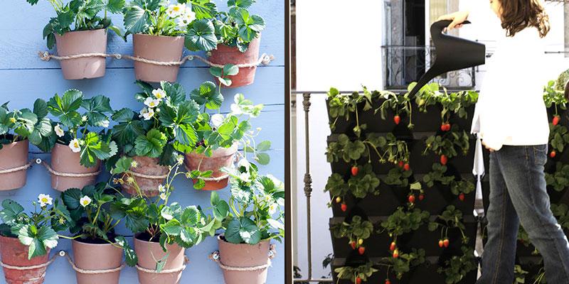 Jordgubbsodling på balkong med krukor och Minigarden